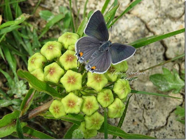 Gray_Hairstreak_milkweed