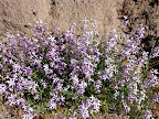 Night Scented Stock - Tucson Wash - by Kathy Beacraft