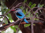 Woodland kingfisher (photo by Clare) - Kruger National Park