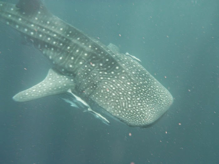 virtù - incredible experience swimming with whale sharks