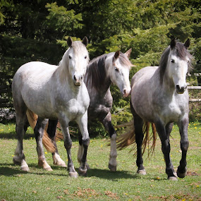 Three Amigos by Lena Arkell - Animals Horses ( horses, dappled gray, gray,  )