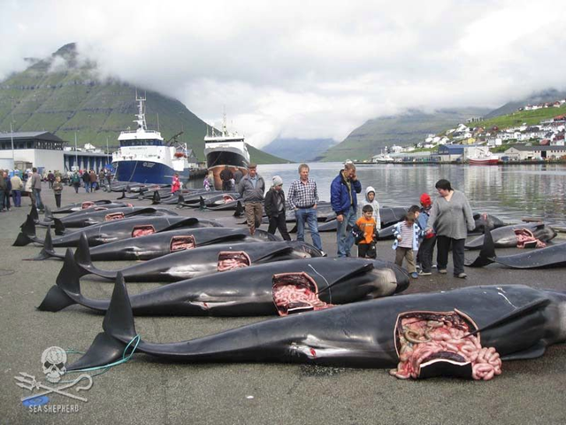 Faroese villagers show their children the bodies of pilot whales slaughtered during the annual drive hunt, known locally as the 'grindadráp'. The 'grindadráp' is illegal, and Denmark is failing to fulfill its obligations under the Berne Convention. Photo: Sea Shepherd