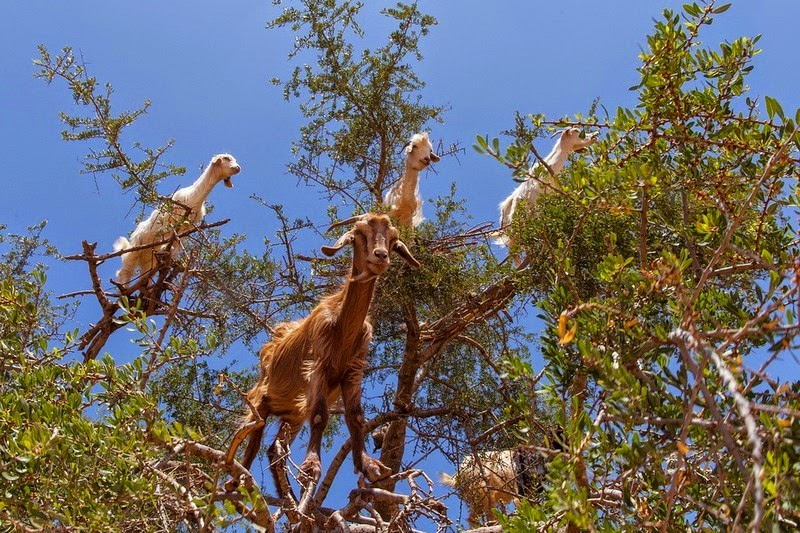 goats-argan-trees-5
