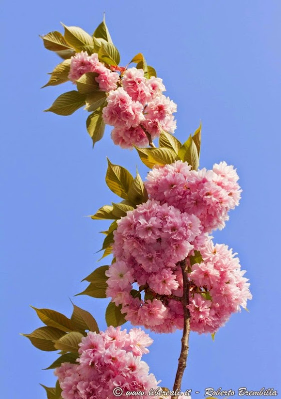 2015-04-15_Ciliegio giapponese-Prunus serrulata_Varenna-017 (FILEminimizer)