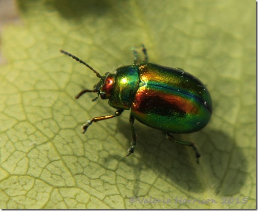 Chrysolina-4