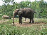 Elephants at the Nashville Zoo 09032011c
