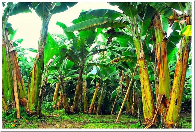 Banana Tree Banana Agua Fresca