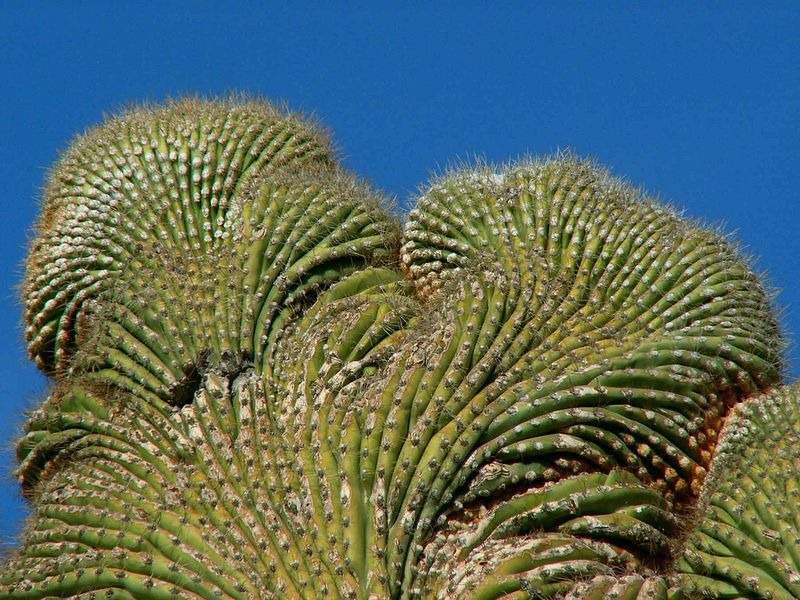 crested-saguaros-11