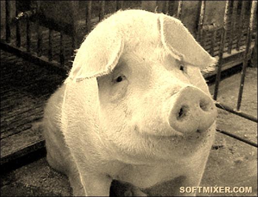С-чего-начать-разведение-свиней