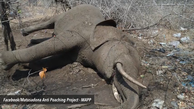 In Zimbabwe's Hwange National Park, an elephant lays dead after it ate oranges laced with cyanide by poachers, 26 October 2015. Photo: Matusadona Anti Poaching Project / Facebook