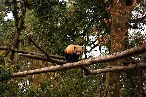 зоопарк дарджилинг красная малая панда