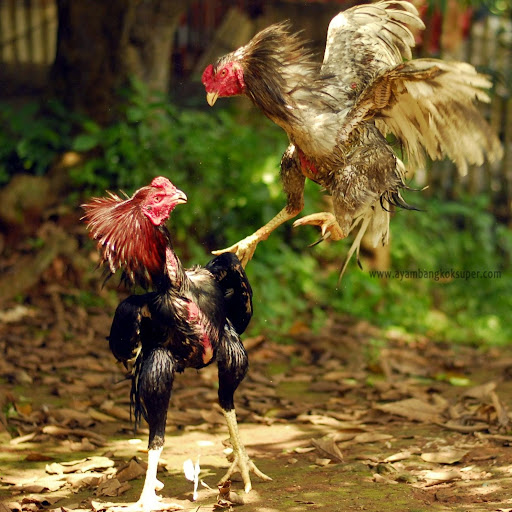 Fighting Cock Indonesia