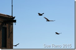 Sue Reno_Black Vultures_Image 4
