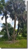 Tri-palms