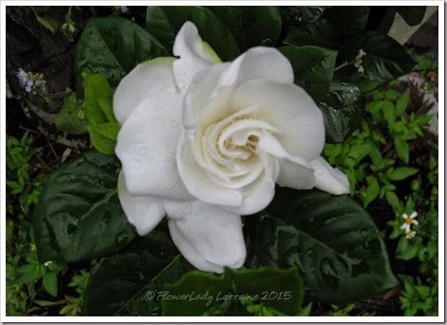 04-22-gardenia