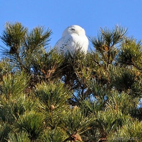 5. snowy owl-kab