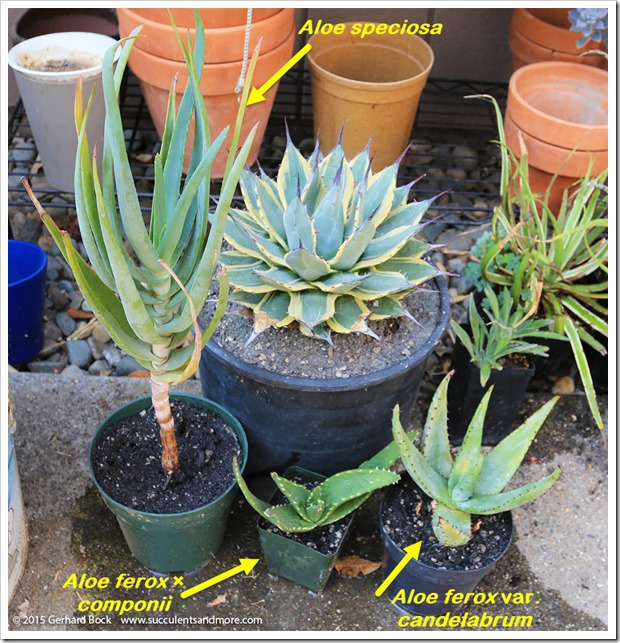 150820_aloes_from_Tony_Norris_005