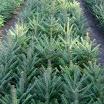p2 balsam fir.jpg