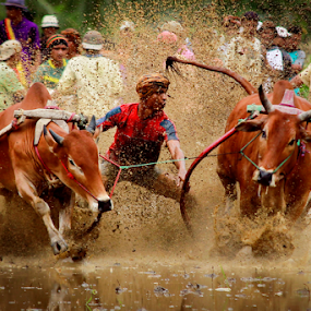 PACU JAWI 1 by Oren Kaler - Sports & Fitness Rodeo/Bull Riding ( tourist attraction, bull race, traditional, pacu jawi, people )