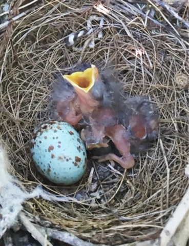 newly hatched mockingbird