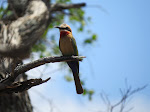 White-fronted bee-eater (photo by Clare) - Mkhuze Game Reserve