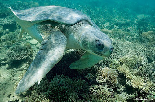 Flat Back Sea Turtle