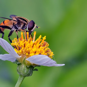 Flowerfly by Repindo Nasution - Animals Insects & Spiders ( macro, fly )
