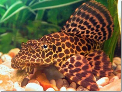 be-ca-canh-leopard_pleco_catybabeo-be-thuy-sinh