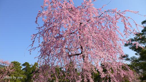 善光寺の桜5
