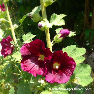 French Village Diaries summer hollyhocks Deux Servres Poitou-Charentes France
