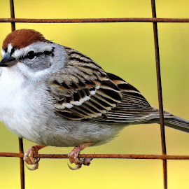 chipping sparrow in the backyard by Mary Gallo - Animals Birds ( chipping sparrow, bird, nature, wildlife, backyard, sparrow, animal )