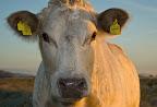 Rinder bei Sonnenaufgang im Teufelsmoor (Ohrmarken auf Wunsch unkenntlich gemacht trotz http://www.jurpc.de/rechtspr/20100154.htm)