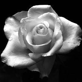 Monochrome - Lighthearted by Gillian James - Flowers Single Flower ( close up, waterdrops, rose, petals, rosa )