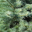 concolor_fir_foliage09.jpg
