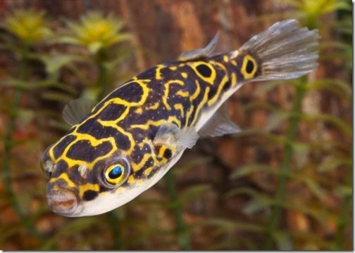 be-ca-canh-figure_eight_puffer_canocso8001-be-thuy-sinh
