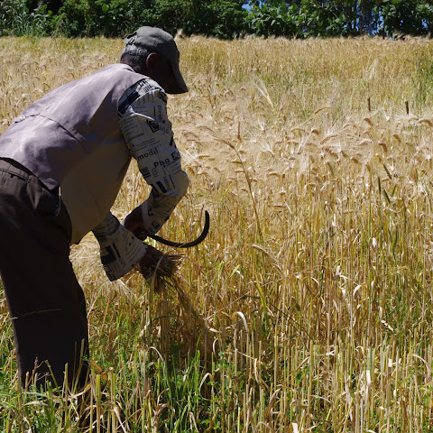 Harvesting barley for roasting or feeding to horses