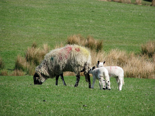Sheep with young lambs