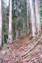 Si, l'eucalyptus mue. La preuve !