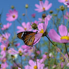Plain tiger butterfly sitting on cosmos