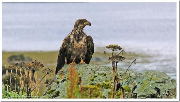 150908_Adak_eagle2_WM
