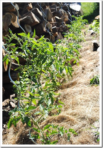 tomaten mulchen