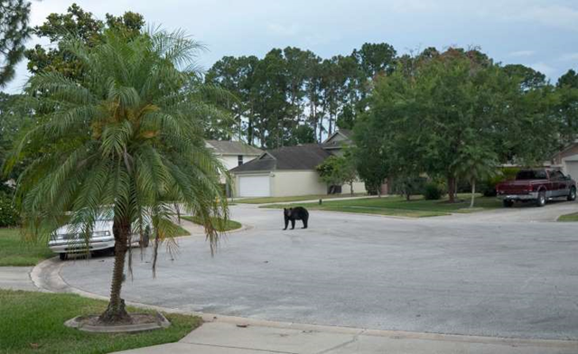 A black bear on a residential street in Daytona Beach, Florida in 2014. Photo: Rafael C. Torres / Reuters