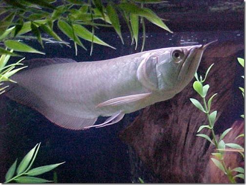 be-ca-canh-silver_arowana_dragon_fish_carong_nganlong-be-thuy-sinh