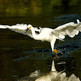 Flyfishing by Dave . - Animals Birds ( bird, water, wading bird, nature, arizona, snowy egret, pond, egret )