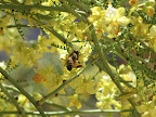Bees in palo verde tree 5/27