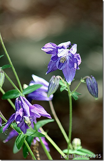 Aquilegia Purple Columbine