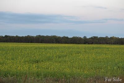 Mustard Field Sept 14