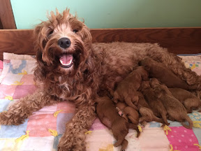 Fancy with her 8 puppies