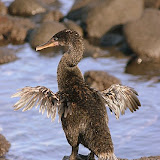 The Reason Why the Flightless Cormorant Can't Fly -- Wings Too Small!