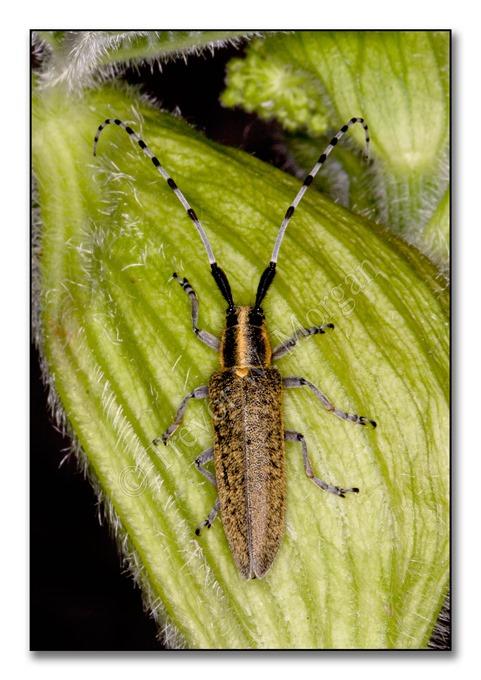 2 Bugs 6  G-b Grey Longhorn